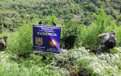 Polícia do Paraguai destrói três hectares de maconha na fronteira