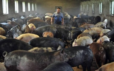 Com peste suína na China, MS vislumbra oportunidades de mercado