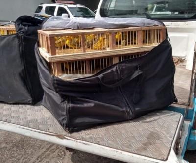 Comerciante é multada por tráfico de 160 canários-peruanos da Bolívia