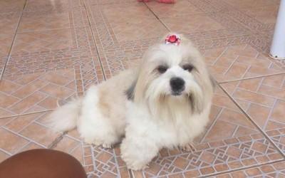 Procura-se Teddy: proprietária oferece recompensa por cachorro perdido em Três Lagoas