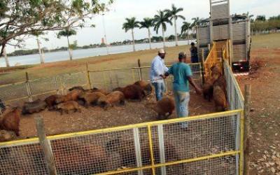 Meio Ambiente inicia manejo das capivaras da Lagoa Maior