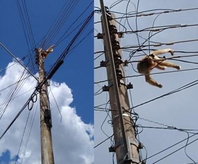Macaco morre eletrocutado e moradores acusam polícia de negligência