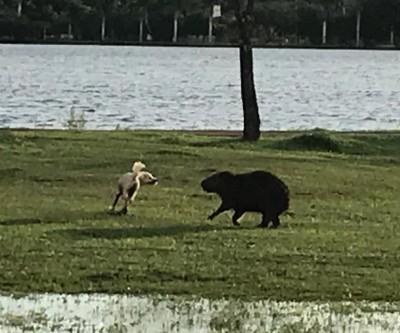 Vídeo de capivara e cachorro brincando na Lagoa Maior viraliza na internet