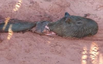 Carcaça de capivara é encontrada em avenida de Três Lagoas