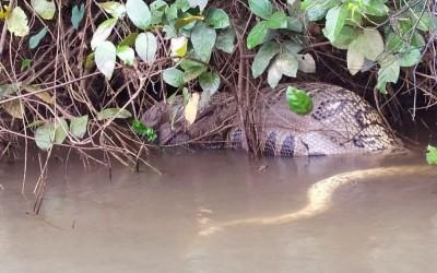Sucuri de 5 metros flagrada no Rio Sucuriú é encontrada morta
