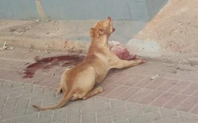 Vídeo de Pitbull que matou e arrastou cachorro pelas ruas do bairro Jd. Dourados viraliza na internet