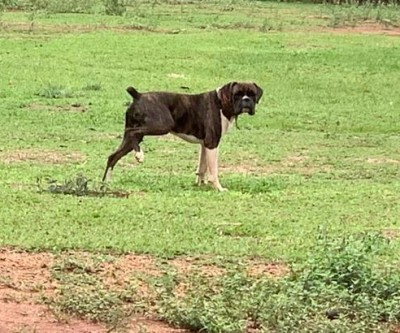 Dono oferece R$ 1.000 para quem encontrar cão que foi furtado em Três Lagoas