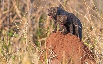 Espécie em extinção, gato-mourisco fêmea e filhote são flagrados por fotógrafo