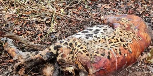 Polícia Federal investiga 4 fazendas por morte de onças-pintadas no Pantanal