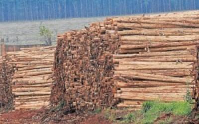 Setor florestal amarga queda  nos preços de até 30%
