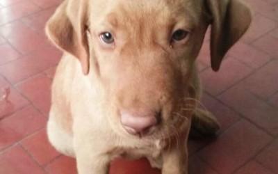 Labrador é furtado de residência no Interlagos durante a madrugada