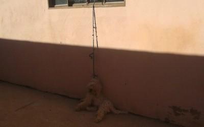 Poodle morre enforcado com corda em residência no São João
