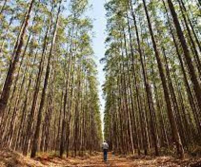 Florestas de eucalipto registram mais de 360 espécies de aves em Mato Grosso do Sul