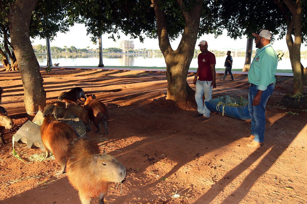 Com pouca vegetação na Lagoa Maior, equipe de Agronegócio volta a alimentar capivaras