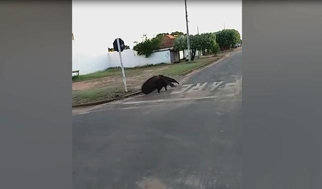 Tamanduá-bandeira é visto 'passeando' em bairro de Três Lagoas