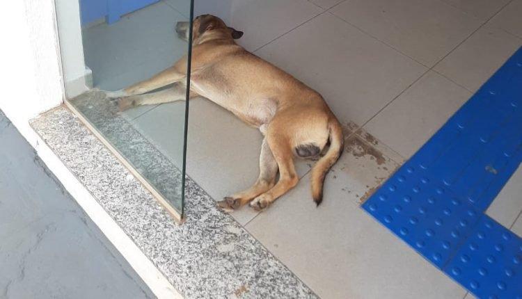 Calor para cachorro: Com máxima de 42°C, cãozinho aproveita ar-condicionado de banco de Ribas do Rio Pardo
