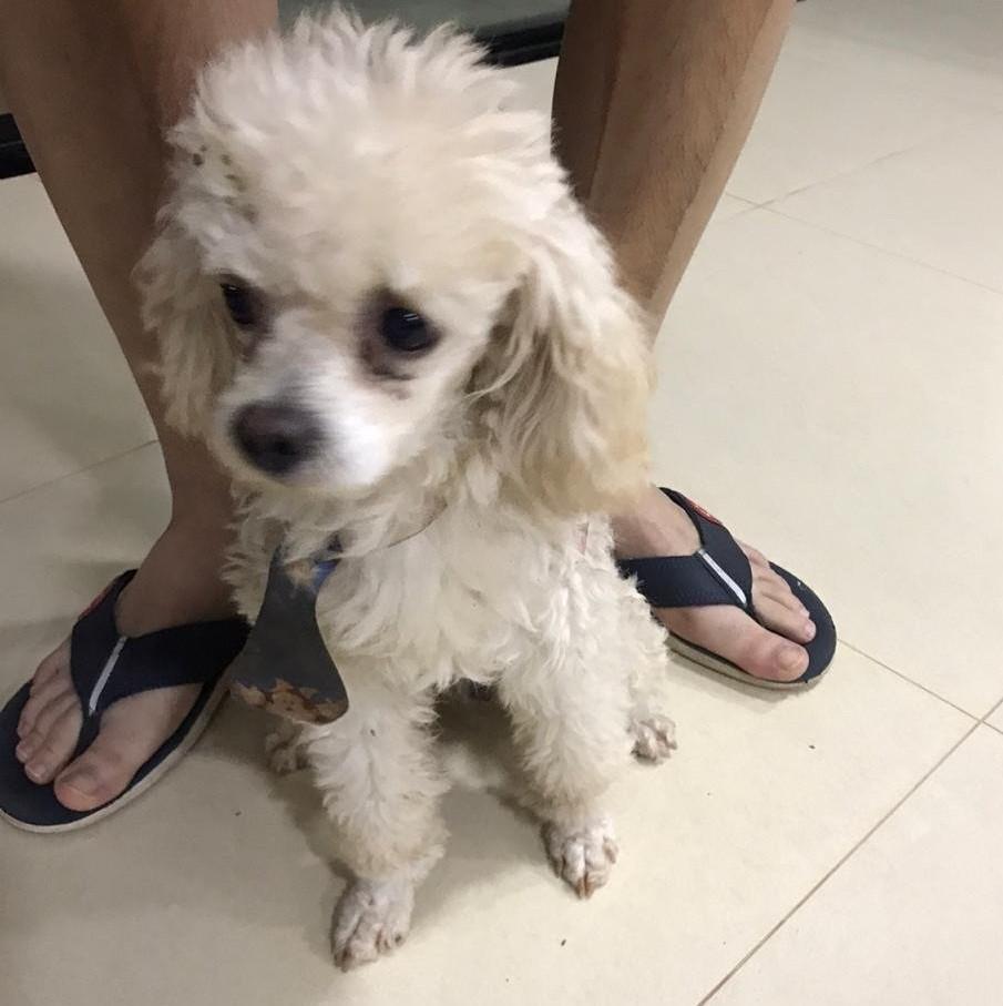 Após divulgação nos sites TL Notícias e Rádio Caçula, poodle desaparecido reencontra seu dono