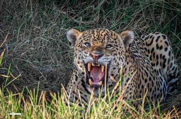 """No Pantanal, onça """"Pirata"""" encanta turistas ao aproveitar sombra para descansar"""