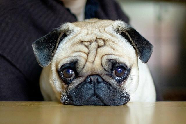 20 raças de cães de porte pequeno para você ter em casa